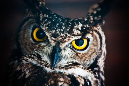 a large bird of prey: Piccolo gufo europeo, rapace notturno con becco di Falco simile e artigli e grande testa con gli occhi rivolti anteriore