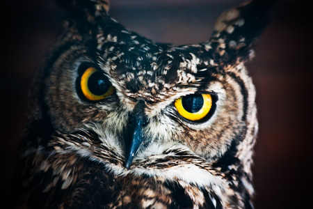 athene: Small European owl, nocturnal bird of prey with hawk-like beak and claws and large head with front-facing eyes