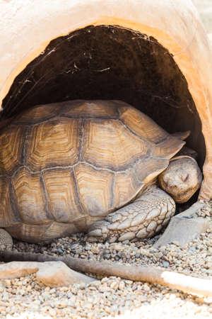 sulcata: Name: Reptilia Chelonia Testudinidae Geochelone Sulcata