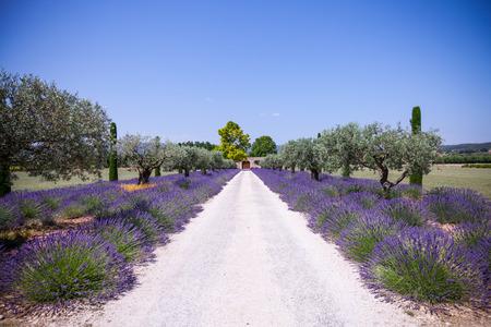 lavander: Provence, France. Lavander field during summer season. Stock Photo