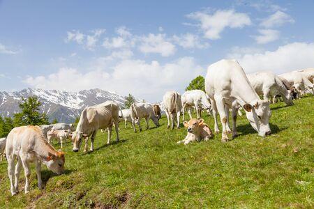 Summer season on Italian Alps. Free calf between adult cows.