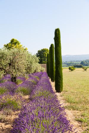 Provence Region, France. Lavander field at end of June