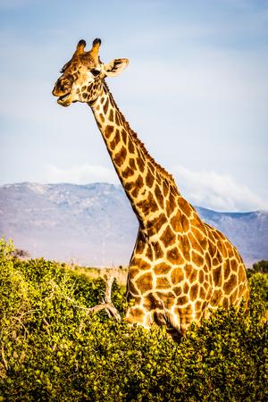 jirafa: Kenia, Tsavo East National Park. Jirafa libre en la luz del atardecer.