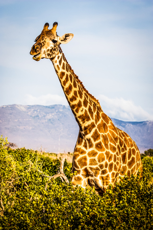 Kenya, Tsavo East National Park. Free giraffe in sunset light.