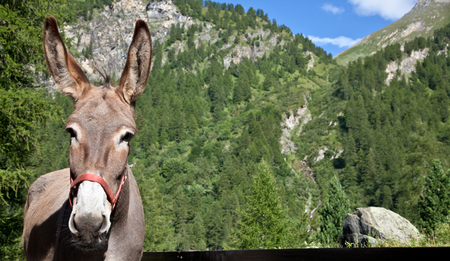 ears donkey: Free donkey on Italian Alps, looking to the camera Stock Photo