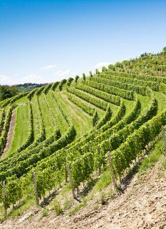 lambrusco: Barbera vineyard during spring season, Monferrato area, Piedmont region, Italy Stock Photo