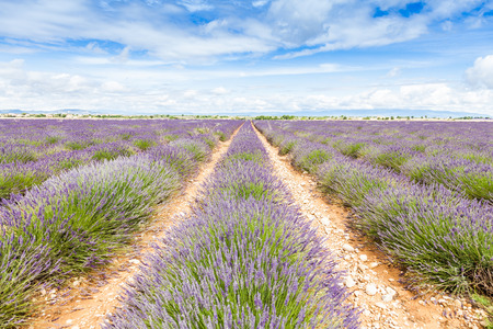 french perfume: Provence Region, France. Lavander field at end of June