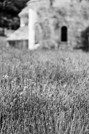 senanque: France, Provence Region, Senanque Abbey. Lavander field in summer season.