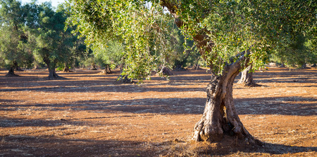 Olive trees in Puglia Region, South Italy - more than 200 years old. Summer season, sunset natural light.