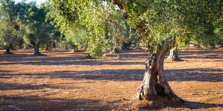Olijfbomen in regio Puglia, Zuid-Italië - meer dan 200 jaar oud. Zomer, zonsondergang natuurlijk licht.