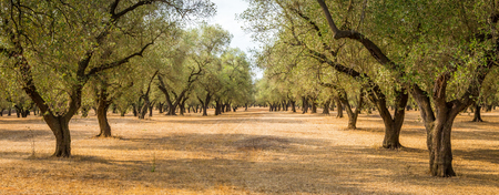 Italy, Puglia region, south of the country. Traditional plantation of olive trees. Фото со стока - 101147503