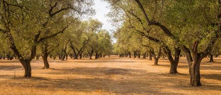 Italië, regio Puglia, ten zuiden van het land. Traditionele aanplant van olijfbomen.