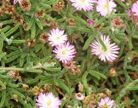 Field of pink little flowers between branch of succulent green field of pink little flowers between branch of succulent green plant stock photo 961136 mightylinksfo
