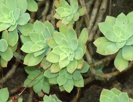 Una planta suculenta con las hojas en forma de flor de luz de color verde  Foto de archivo - 961153