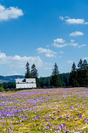 crocus blooming in the mountains photo