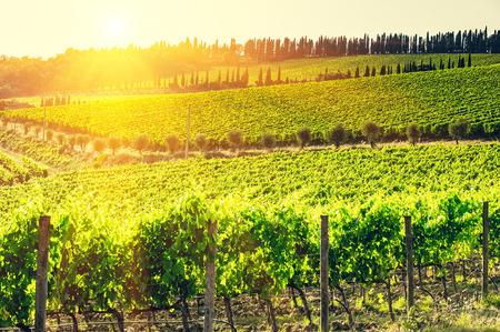 vineyard in the Chianti region,Tuscany,Italy