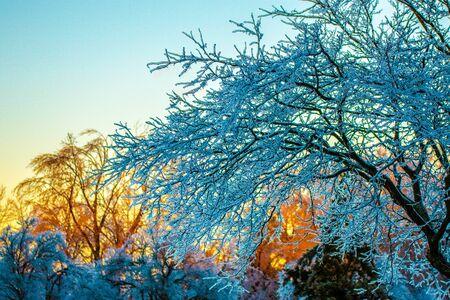 Puesta de sol dorada detrás de un árbol congelado después de que Toronto fuera azotada por una tormenta de hielo que provocó un gran corte de energía en toda la ciudad que duró días. Esta hermosa escena fue la calma después de la tormenta.