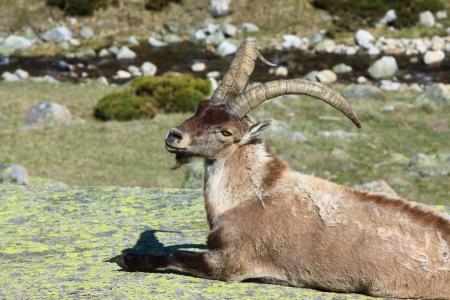 ibex ram: Standing alpine ibex, wild animal living in high altitude