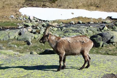 herbivore: Standing alpine ibex, wild animal living in high altitude
