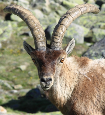 Standing alpine ibex, wild animal living in high altitude photo