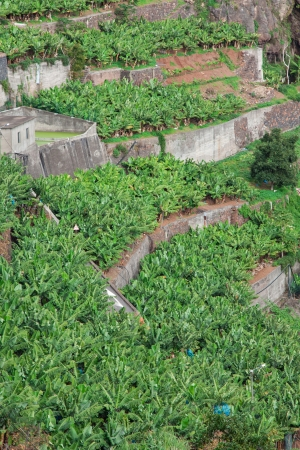 Banana plantations in camara de  lobos Madeira island, Portugal photo