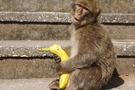 sylvanus: Barbaby Ape sitting on wall overlooking the port area, Gibraltar, UK, Western Europe  Stock Photo