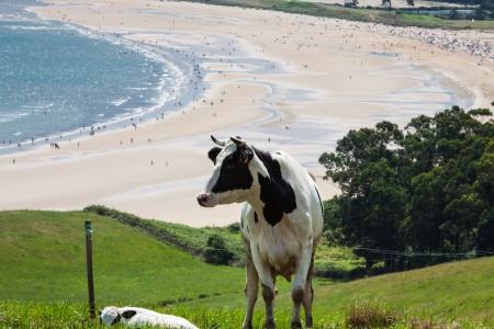brean down: Cattle grazing on a beach background Cantabria, Spain