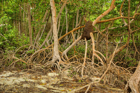 Mangrove forest in Colombia, islands caribbean Mucura photo