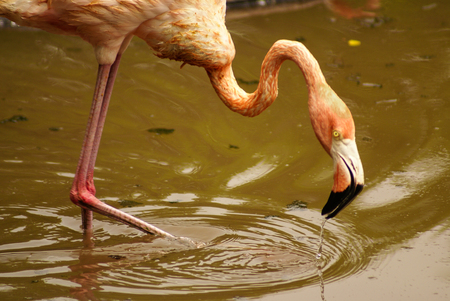The American subspecies of Caribbean Flamingo  Phoenicopterus ruber ruber  photo