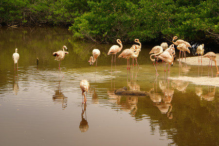 subspecies: The American subspecies of Caribbean Flamingo  Phoenicopterus ruber ruber