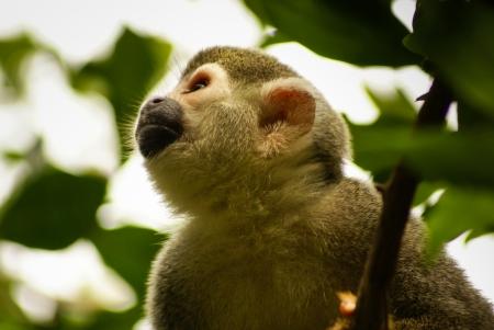 sciureus: Amazon and america Monkey  Saimiri sciureus sciureus