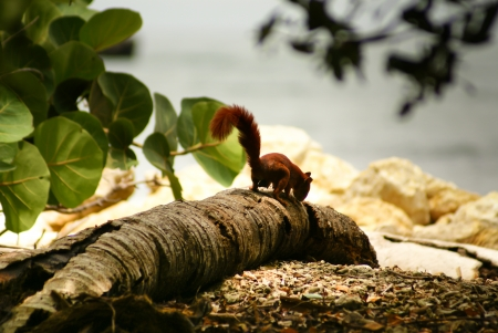 Red Squirrel in the island Mucura,Colombia photo