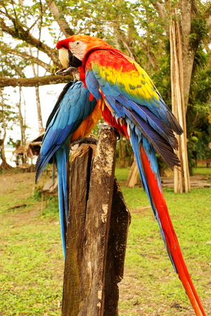 Couple of macaw parrots in the amazon,Colombia photo