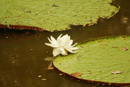water lily  Vicoria amazonica  at first night flowering  The second night it turns pink  photo
