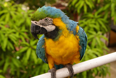 The potrait of Blue   Gold Macaw,Colombia photo