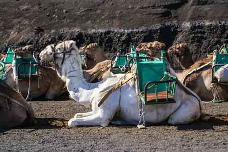 timanfaya: Camel en Lanzarote en Timanfaya Monta�as del Fuego en Islas Canarias Foto de archivo