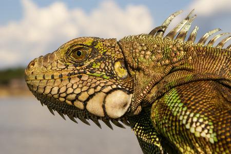 Iguana  Amazon Stock Photo