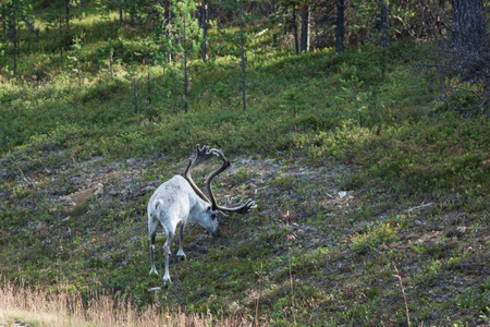 Reindeer stag with exceptionally long antlers photo