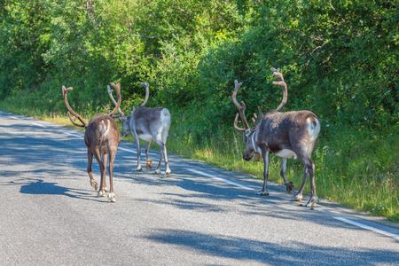 Herd of reindeer in the Norway photo