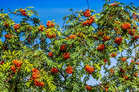 european rowan: Rowan tree with red berries and leaves Stock Photo