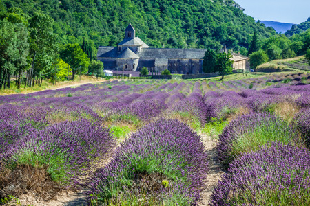 lavande: Lavender in front of the abbaye de Senanque in Provence