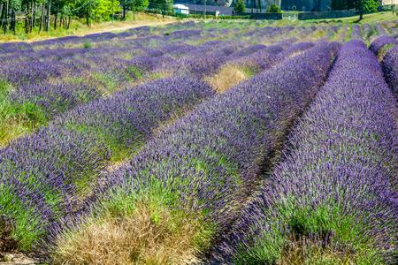 lavendin: Provence - lavender field in the Gordes ,France