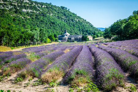senanque: Lavender in front of the abbaye de Senanque in Provence