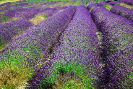 lavendin: Provence - lavender field in the Gordes ,France