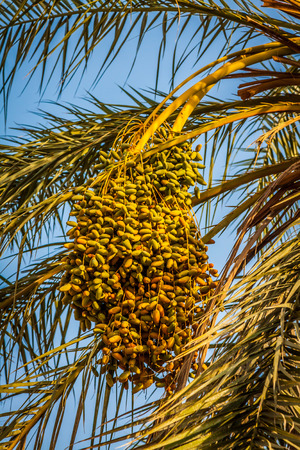 kimri: Beautiful yellow khalal dates in a tree