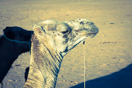 one humped: Arabian camel or Dromedary also called a one-humped camel in the Sahara Desert, Douz, Tunisia