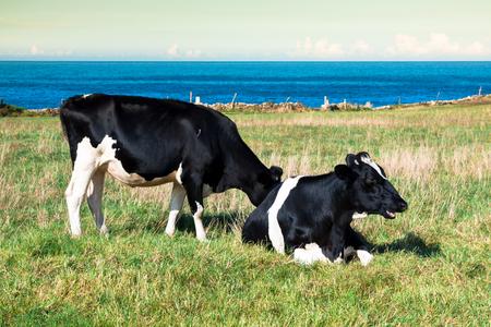 beast ranch: Spanish milk cow in the seaside farm,Asturias,Spain