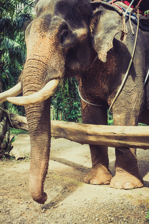 Asia Elephant in Thailand photo
