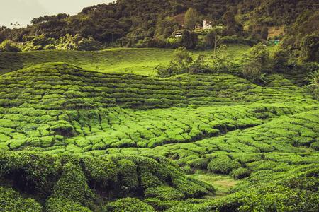 highlands: Landscape with tea plantation Cameron highlands, Malaysia