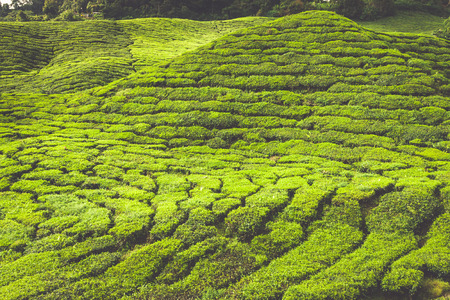 boh: Landscape with tea plantation Cameron highlands, Malaysia